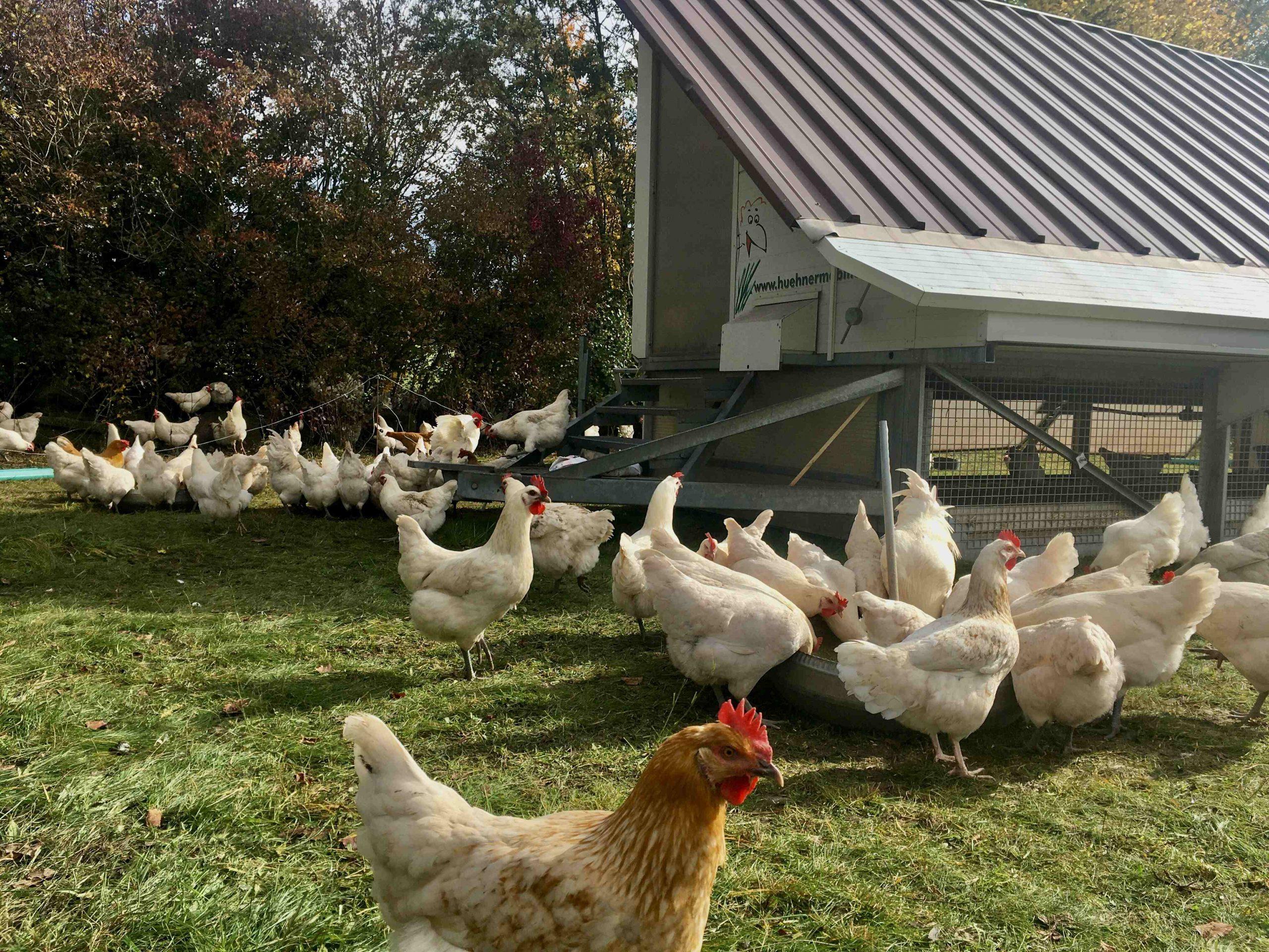 hühner nah